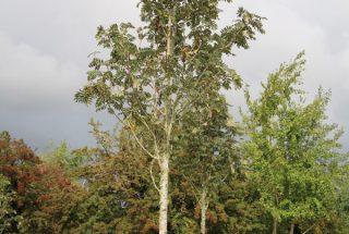 Dún na Sí - Adopt a tree 35