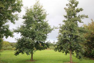 Dún na Sí - Adopt a Tree 1