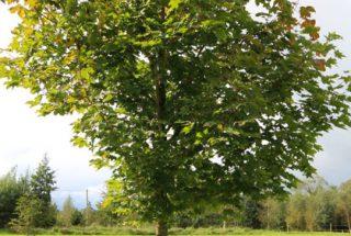 Dún na Sí - adopt a tree 32