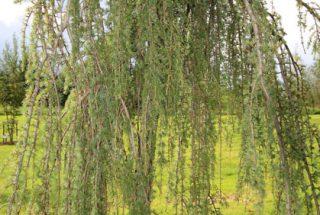 Dún na Sí - adopt a tree 31