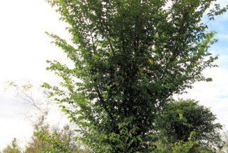Dún na Sí - adopt a tree 28