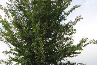 Dún na Sí - adopt a tree 27