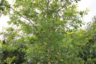 Dún na Sí - adopt a tree 26