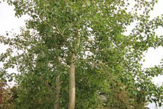 Dún na Sí - adopt a tree 25