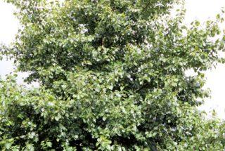 Dún na Sí - adopt a tree 24