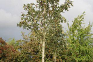 Dún na Sí - adopt a tree 22