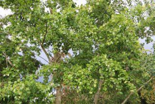 Dún na Sí - adopt a tree 21