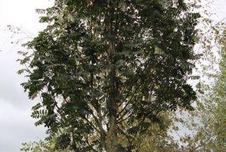 Dún na Sí - adopt a tree 18
