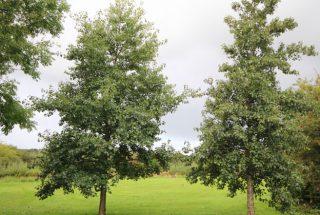 Dún na Sí - adopt a tree 17
