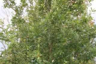 Dún na Sí - adopt a tree 16