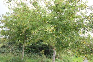 Dún na Sí - adopt a tree 14