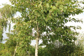 Dún na Sí - adopt a tree 12